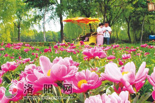 隋唐城遗址植物园里的芍药开得正艳
